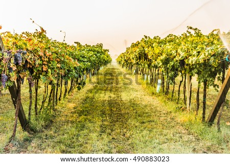 Shrubs grapes before harvest. Watering growing grapes. Bardolino. Italy