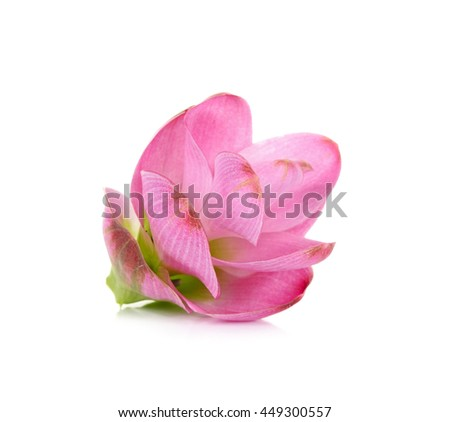 siam tulip flower isolated on white background.