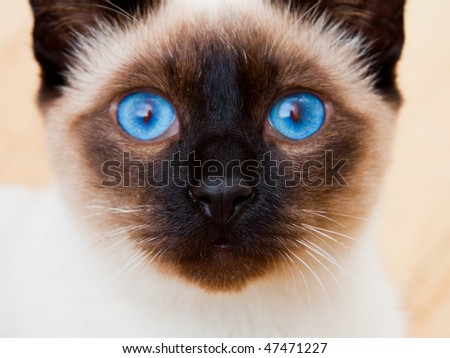Siamese Cat Face Blue Eyes Whiskers.  White Furr blurries into the background