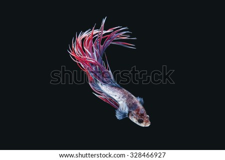 Siamese fighting fish isolated on black background (Betta splendens)