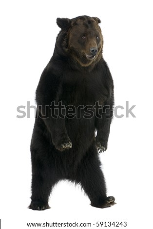 Siberian Brown Bear, 12 years old, standing in front of white background