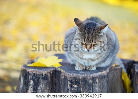 Siberian cat sitting at stump in the autumn forest