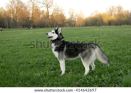 Siberian husky at walk and play