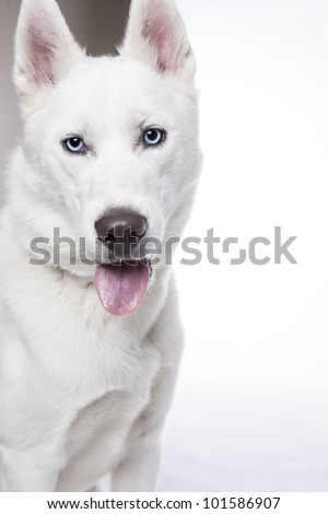 Siberian husky in front of white background