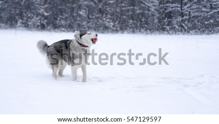 Siberian husky playing with ball in winter forest