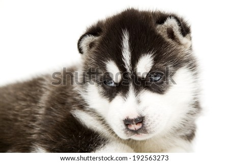 Siberian Husky puppy, age of 4 weeks, isolated on a white background
