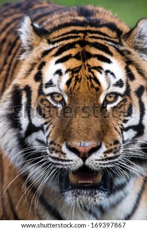 Tiger Portrait Stock Photo 137012951 - Shutterstock