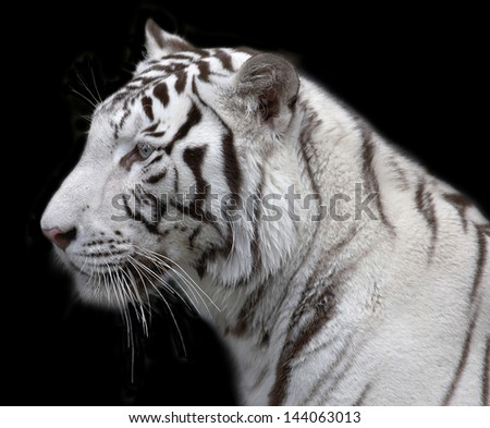 Side face portrait of a white bengal tiger, isolated on black background.