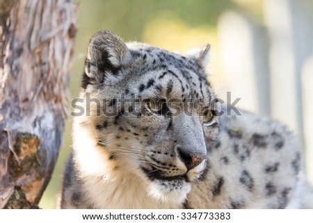 side portrait of snow leopard, Uncia uncia with shallow focus