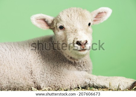 Side view of a lamb against green background