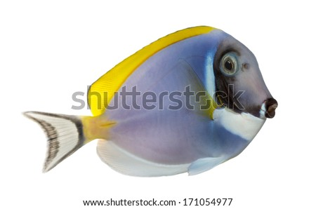 Side view of a Powder blue tang, Acanthurus leucosternon, isolated on white
