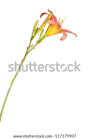 Side view of a single stem with a pink and yellow daylily flower and many unopened buds isolated against a white background