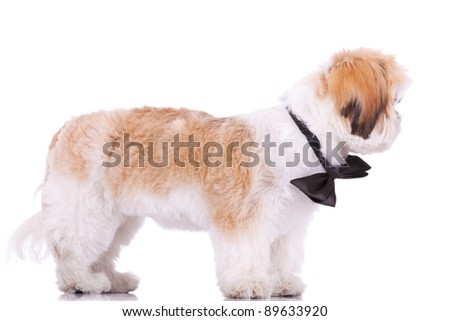 side view of a standing little shih tzu puppy, looking at its side  on white background