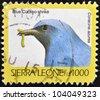 SIERRA LEONE - CIRCA 2002: A stamp printed in sierra Leone shows blue cuckoo-shrike, coracina azurea, circa 2002 - stock
