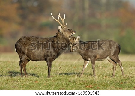 Sika deer, Cervus nippon,  male and female on grass, Kent