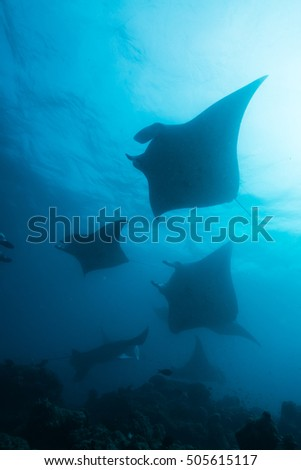 Silhouette of Manta Rays