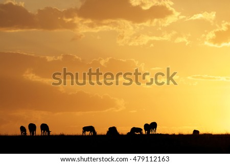 Silhouette of Wildebeest grazing at sunset