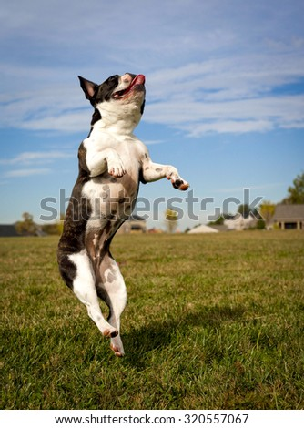 Silly French bulldog leaping vertically standing on left foot in dog park