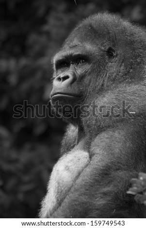 Silver back gorilla looking proud and relaxed in black and white