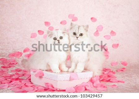 Silver Chinchilla Persian kittens with pink rose petals on pink background