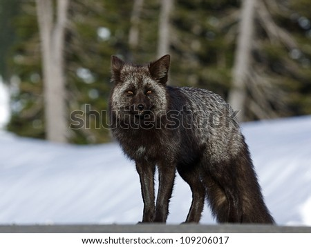 "Silver Phase Cascade Fox, an alpine subspecies of the Red Fox, Mount Rainier National Park, Washington; Pacific Northwest wildlife / animal / nature / outdoors / recreation ""Silver Fox"""