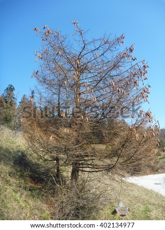single bare coniferous tree with many cones in the spring