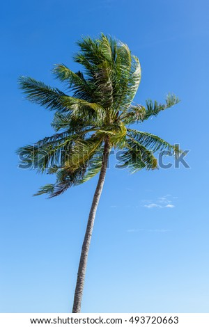 Single coconut tree blown in strong wind isolated on blue sky K