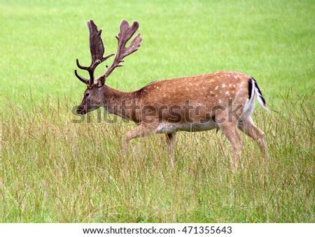 Single deer with antlers standing in tall grass