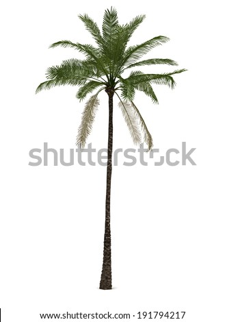 Single Palm Elaeis Guineensis (isolated white background)