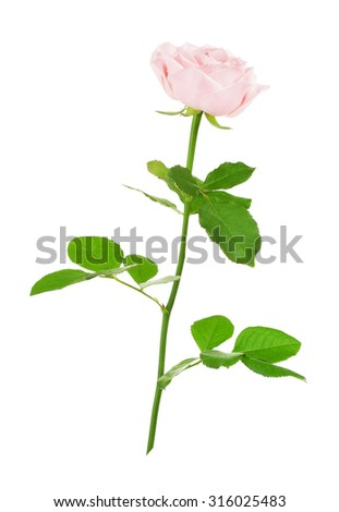single pink rose flower, isolated on white background