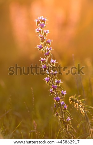 single purple flower on the meadow in the sunset light