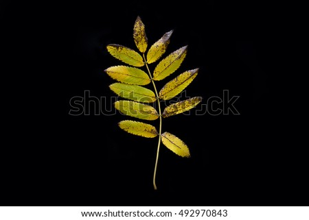 Single yellow green autumn rowan tree leaf close up isolated on black background