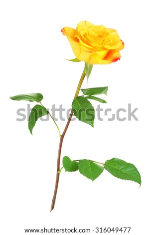 single yellow rose flower, isolated on white background