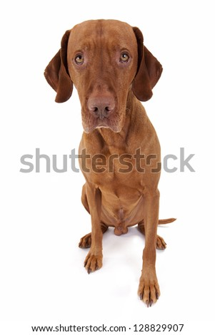 sitting golden color dog with an innocent look in his eyes isolated on white background