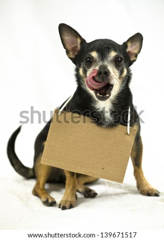 Sitting small Chihuahua dog wearing a blank cardboard sign licks lips