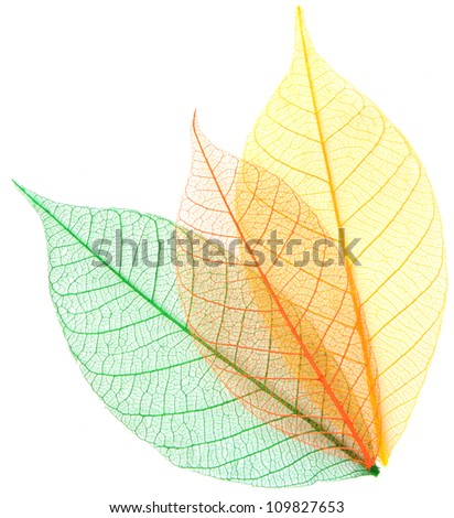 Skeleton leaves on a white background .