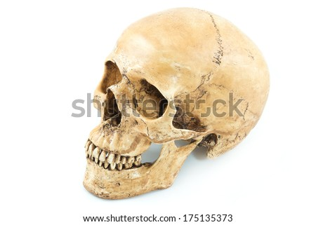 Skull model on isolated white background