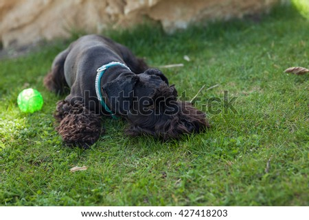 Small black schnauzer dog lying on green meadow with his toys green balloon in the background