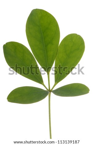 small branch of leaves isolate on white background