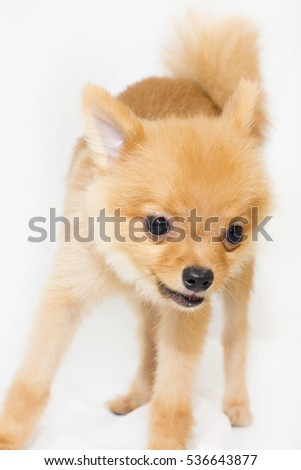 Small breed brown dog 1 year old be funny on white background.