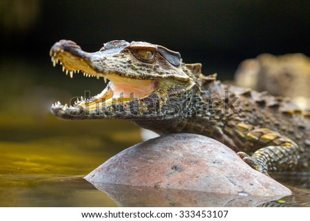 Small Caiman Crocodile Absorbing Heat Shot In The Wild In Amazonian Basin In Ecuador