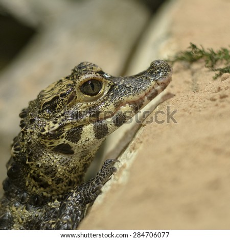 Small crocodile waiting for a food