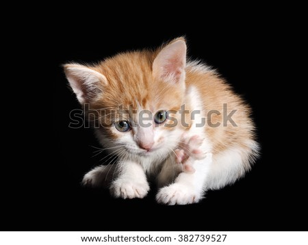 Small cute kitten funny pink paw raised. Isolated black background. White kitten with a red, fluffy, beautiful fur.
