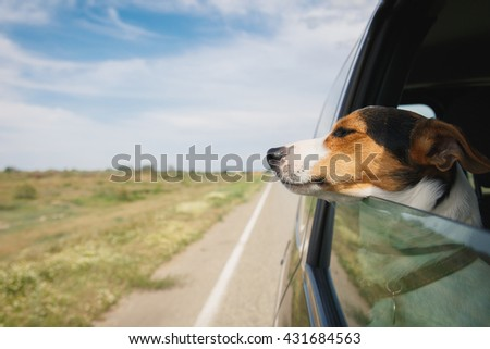 small dog breeds Jack Russell Terrier rides in a car leaning out of the window on a summer day