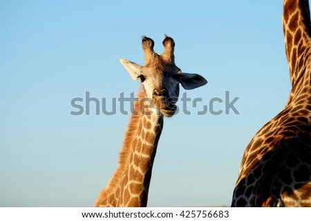 Small giraffe smiles in South Africa