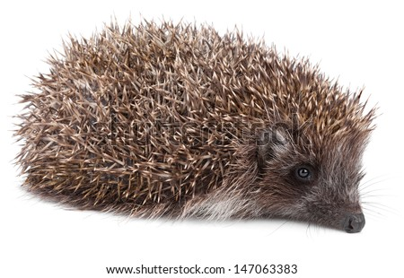 Small hedgehog in front isolated on white background