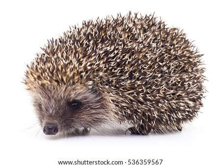 Small hedgehog isolated on a white background.