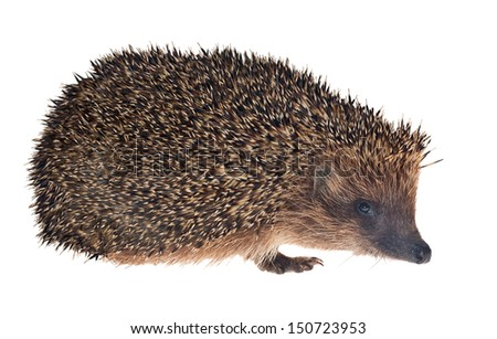 small hedgehog isolated on white background