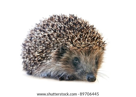small hedgehog on light background