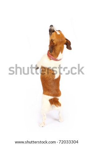 Small Jack Russell Terrier reaching up